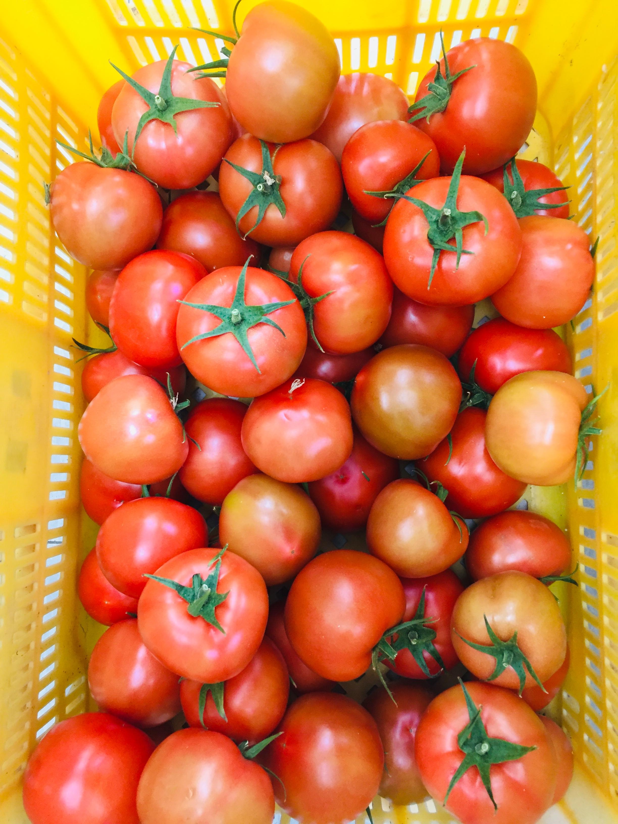 완숙 토마토